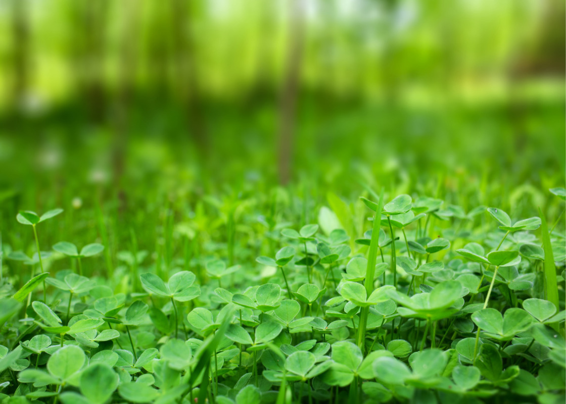 Dynamics of grass-clover mixtures